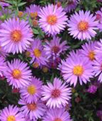 Woods Purple Image
