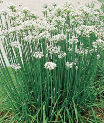 Garlic Chives Image