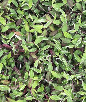 Basket Grass (Oplismenus) Image