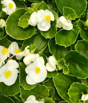 Super Olympia White Image