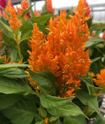 Fresh Look Orange Image