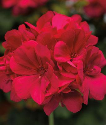 Calliope® Medium Hot Pink Image