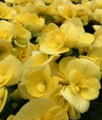 Blitz Yellow Image