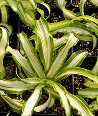 """Spider Plant """"Cream Centers"""" Image"""
