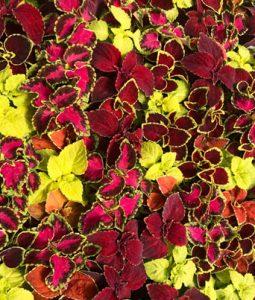 Coleus Assorted Varieties Image