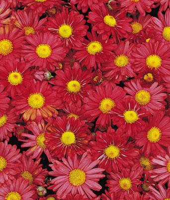Chrysanthemum Mammoth™ Red Image