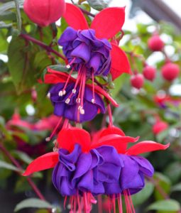 Fuchsia Dark Eyes Image