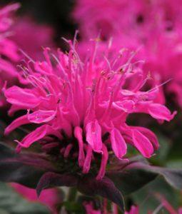 Balmy™ Rose Image