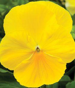 Delta™ Premium Pure Lemon Image