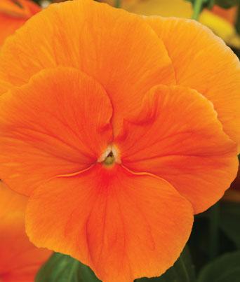 Delta™ Premium Pure Orange Image