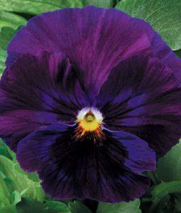 Delta™ Premium Pure Violet Image