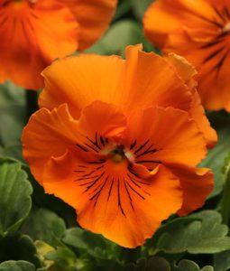 Frizzle Sizzle Orange Image