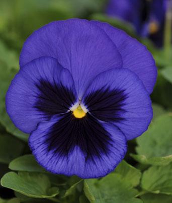 Spring Matrix™ Blue Blotch Image