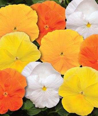 Spring Matrix™ Daffodil Mix Image