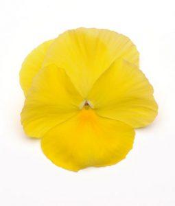 Spring Matrix™ Lemon Image
