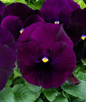 Spring Matrix™ Purple Image