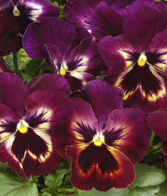 Spring Matrix™ Sangria Image