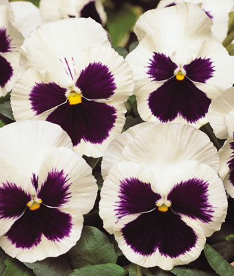 Spring Matrix™ White w/Blotch Image