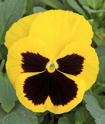 Spring Matrix™ Yellow Blotch Image