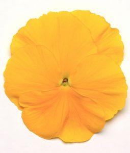 Spring Matrix™ Yellow Image