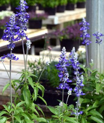 Victoria Blue Image