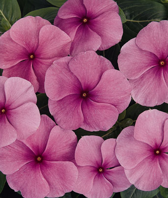 Titan™ Lilac Image