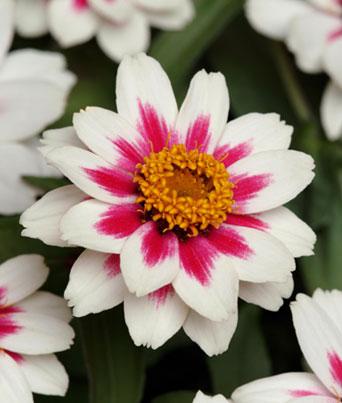 Zahara® Starlight Rose Image