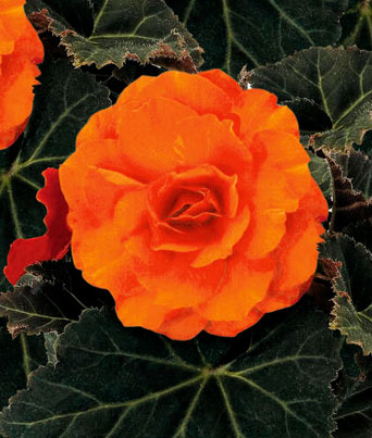 Nonstop® Orange Image