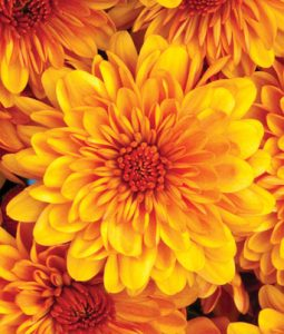 Cheryl™ Spicy Orange Image