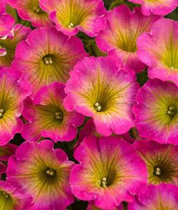 Petunia Supertunia® Series Image