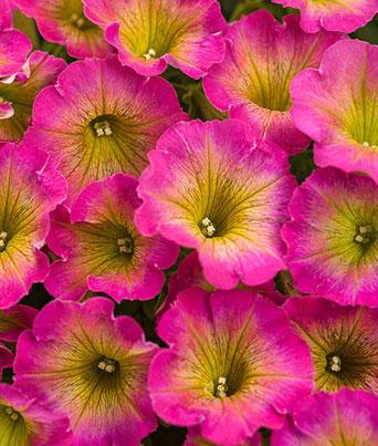 Petunia Supertunia® Series Image
