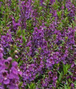 Serena® Purple Image