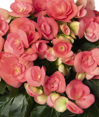 Netja (Dark Pink) Image