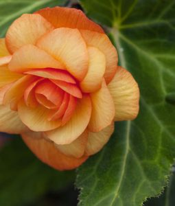 Begonia Illumination® Series Image