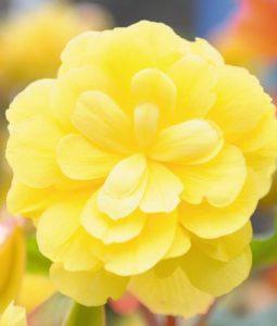 Illumination® Lemon Image