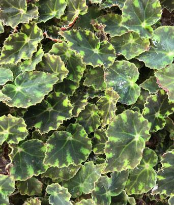 "Begonia ""Miniature Image"