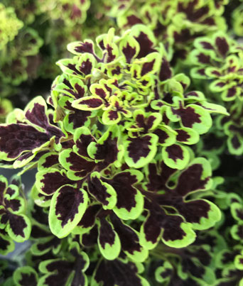 "Coleus ""Pillar Polly"" Image"