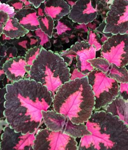 Coleus Trailing Rose Image