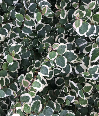 "Creeping Fig ""Variegated"" Image"