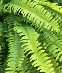 Boston Fern Image