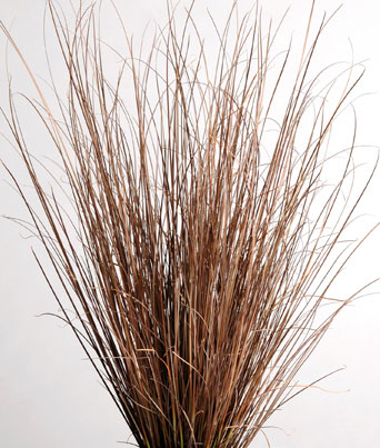 Carex Red Rooster Image