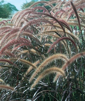 Graceful Grasses® Pennisetum Rubrum Image