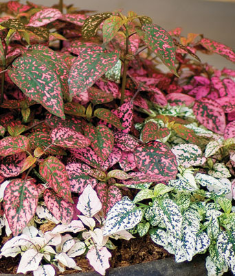 "Hypoestes ""Confetti Compact Mix"" Image"