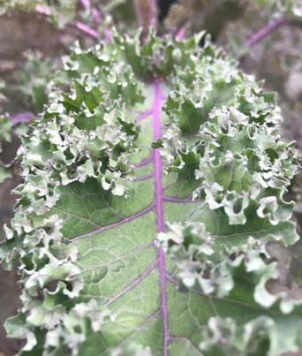Red Bor Kale Image