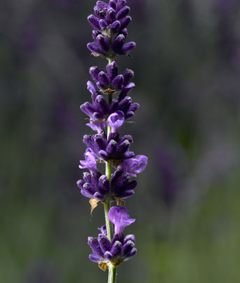 Lavender Hidcote Image