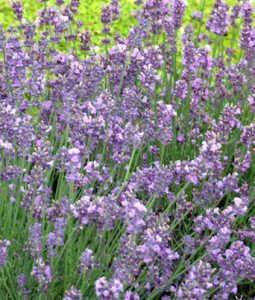 Lavender Munstead Image