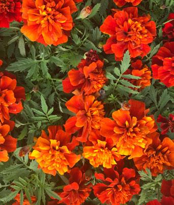 Marigold Assorted Image