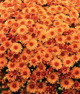 Beverly™ Orange Image