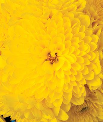 Cheryl™ Sparkling Yellow Image