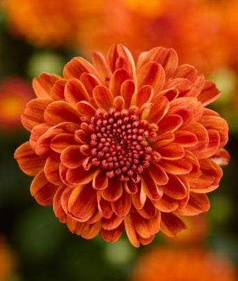 Gigi™ Orange Image